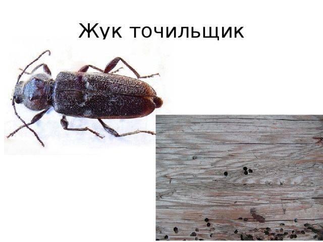 Как защитить дом от жука-древоточца. быстродействующие методы избавления от древоточца
