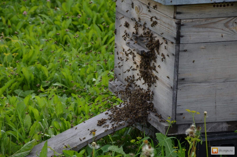 Борьба с осами на пасеке – как спасти пчелиные семьи