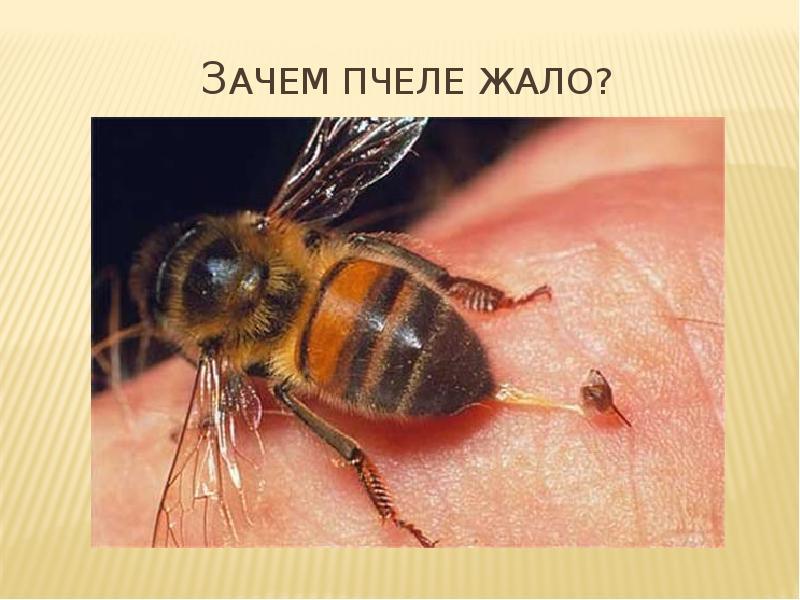 Кусаются ли пчелы: что делать, чтобы они не нападали и чем намазаться