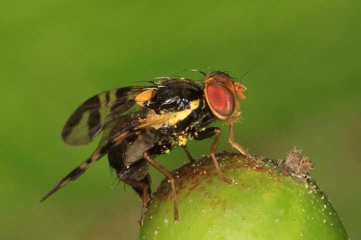 Вишневая муха: меры и методы борьбы на черешне или вишне, сроки обработки, препараты и прочее
