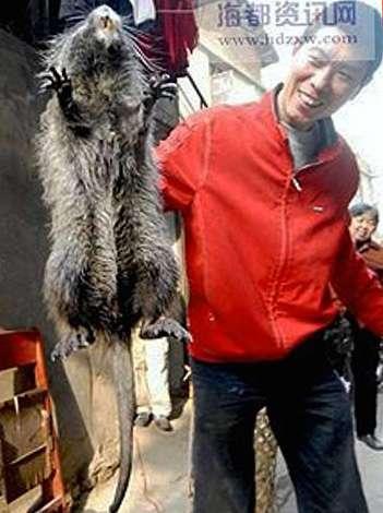 Самая большая крыса - список самых огромных пород крыс, максимальный размер