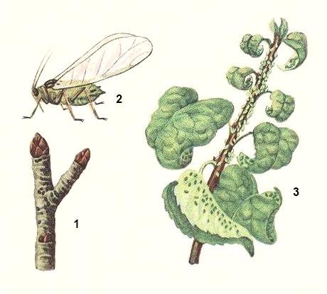 Названия вредителей яблони и борьба с ними