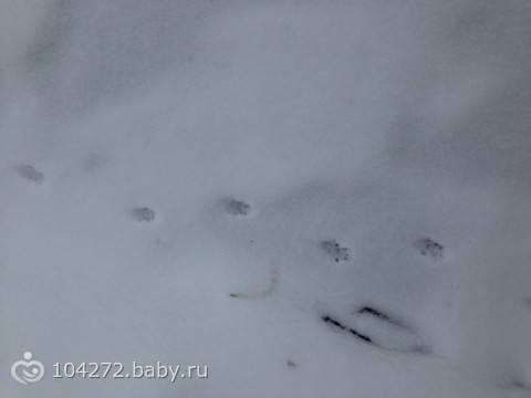 Следы крысы на снегу - фото и описание