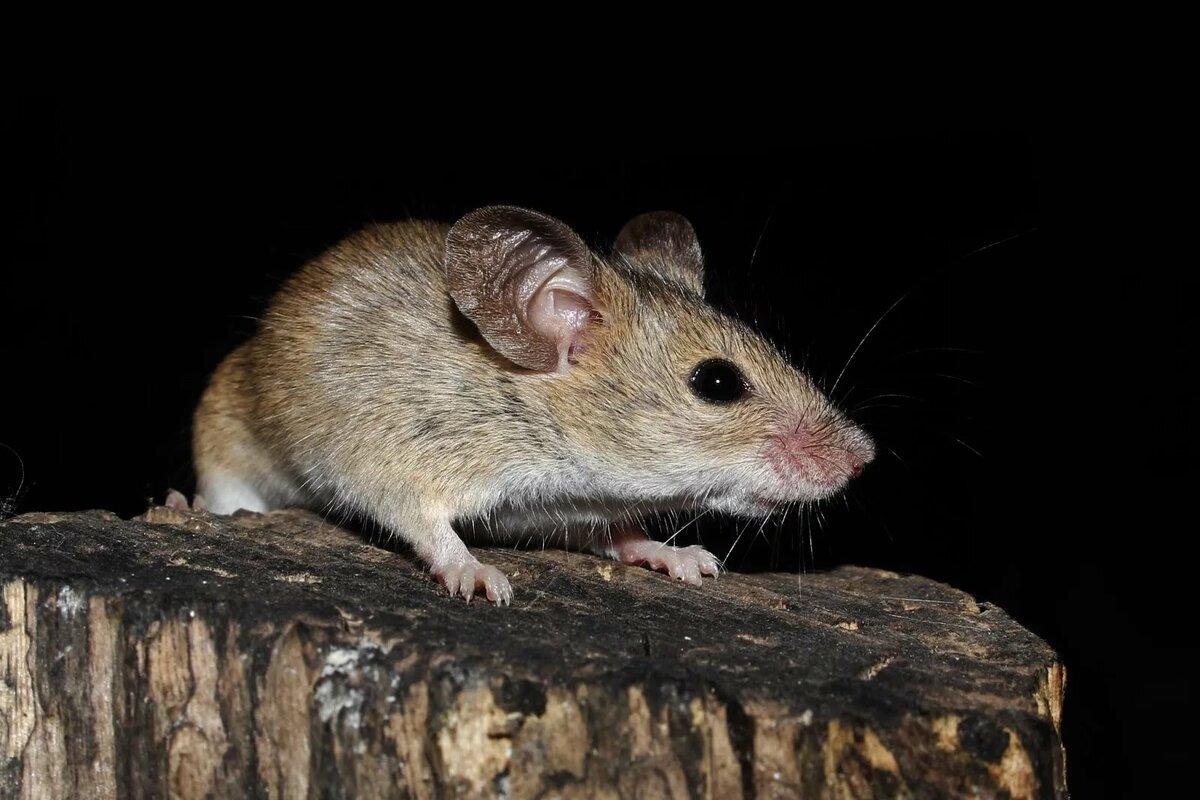 Разновидности мышей - все виды домашних и диких мышек