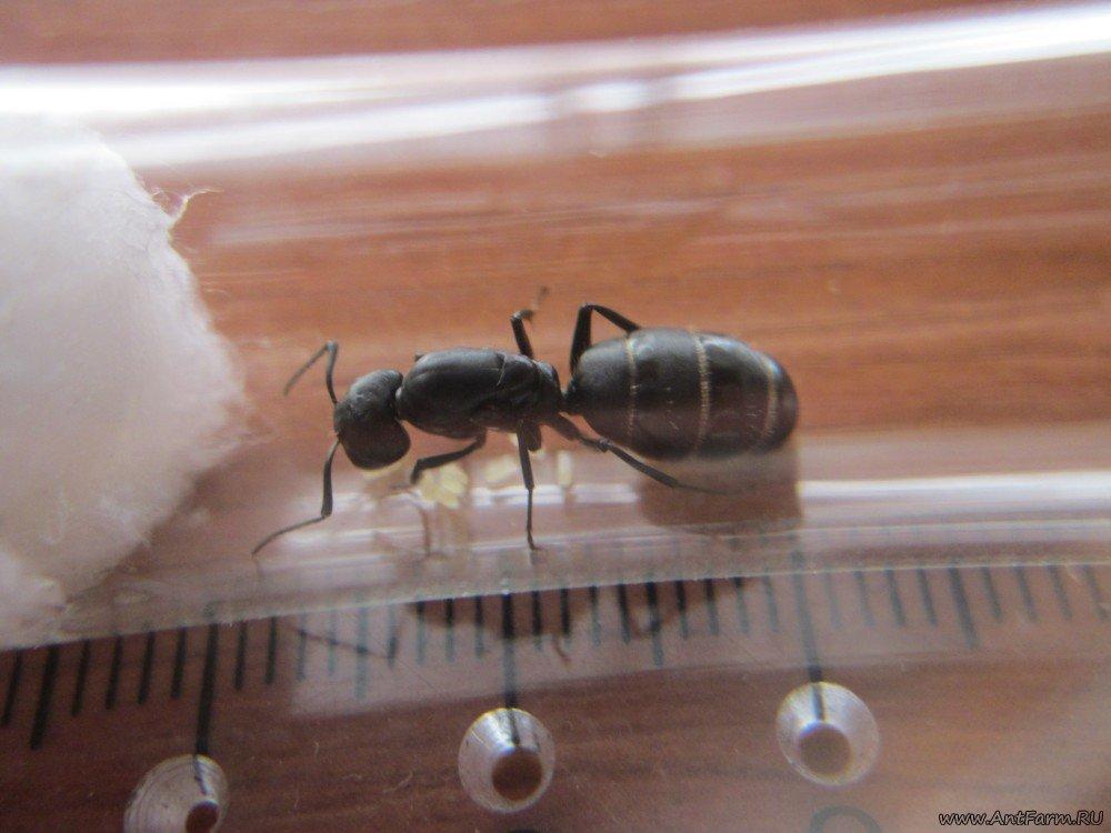 Летучие муравьи появились в доме