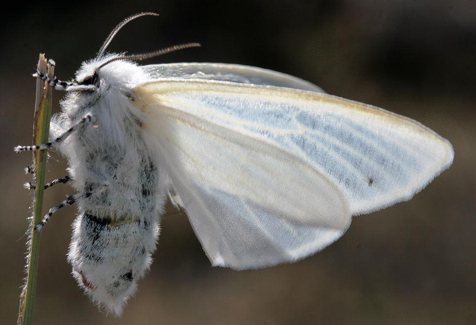 Американская бабочка методы борьбы. американская бабочка – как избавиться? (сроки и меры борьбы). как бороться с американской белой бабочкой? описание вредителя