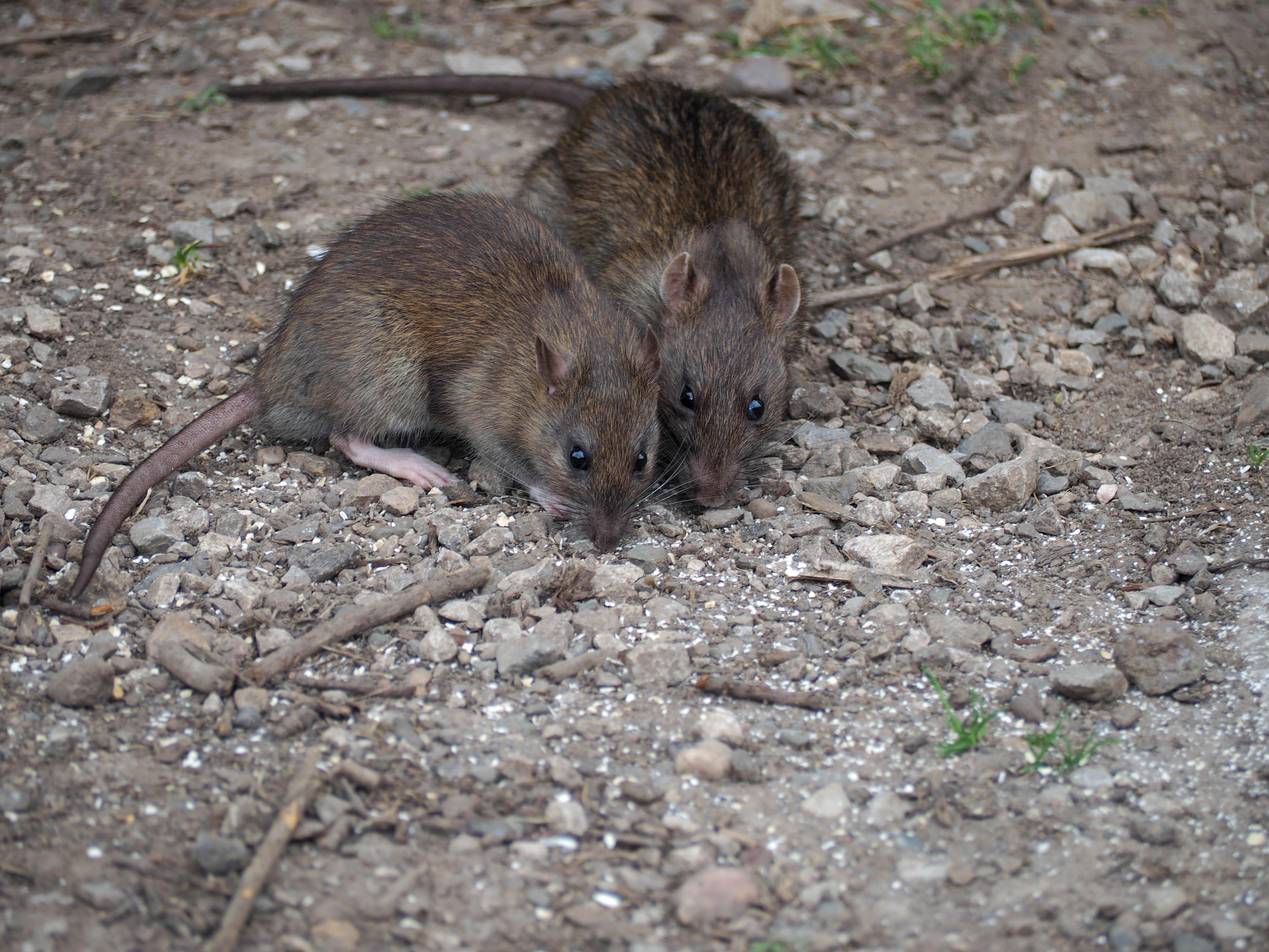 Какие заболевания переносят мыши