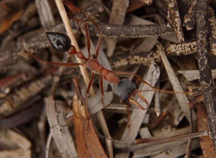 Муравьиные укусы: симптомы, опасность и способы лечения. укусы муравьев: фото, симптомы, последствия