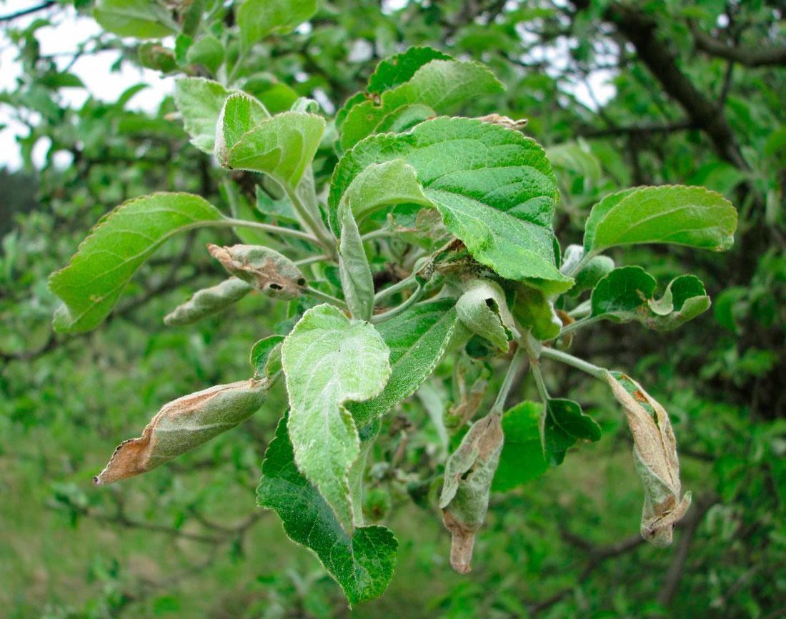 Долгоносик: плодовые вредители