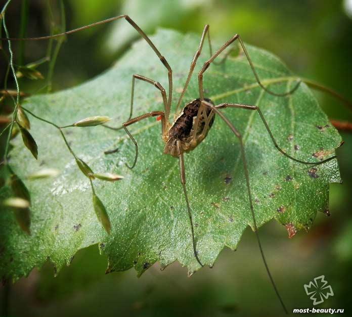 Где обитает и чем питается паук сенокосец (косиножка)