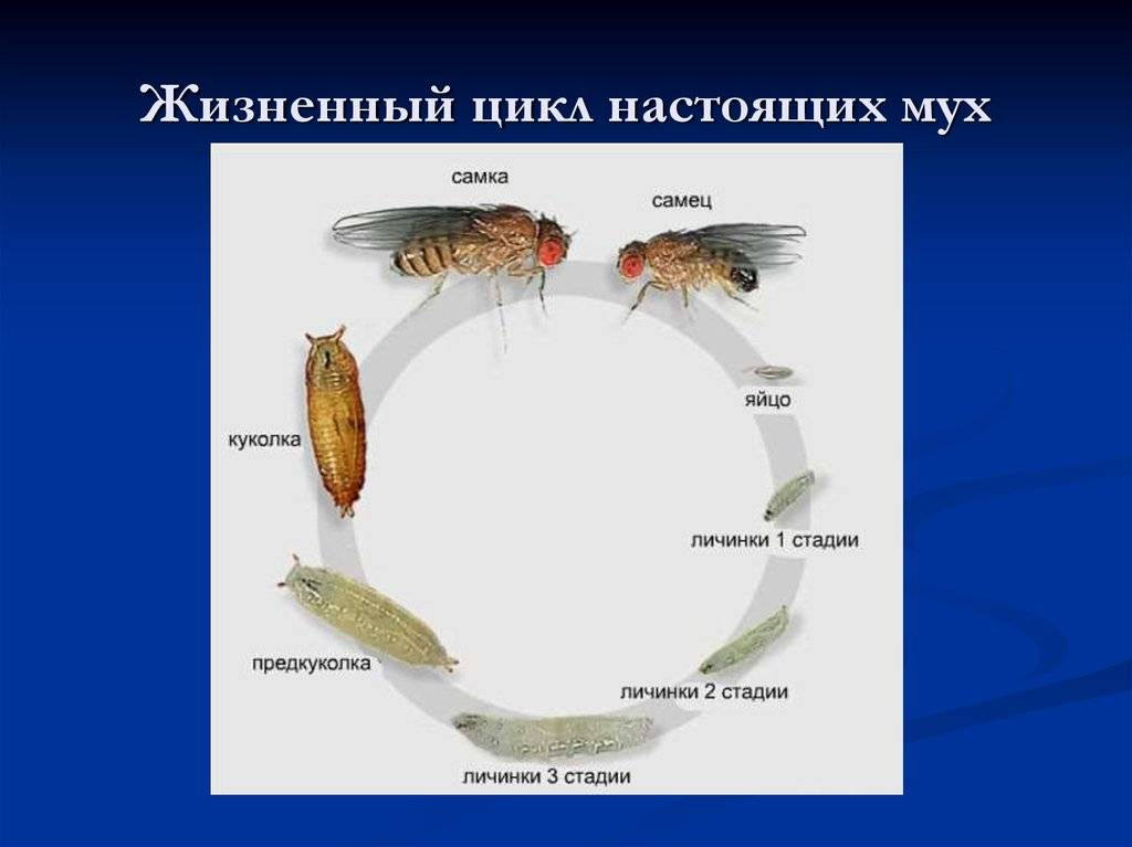 Сколько живут комнатные мухи в условиях обыкновенной квартиры. сколько живут мухи разных видов?