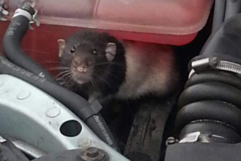 Как вывести мышей из машины и гаража