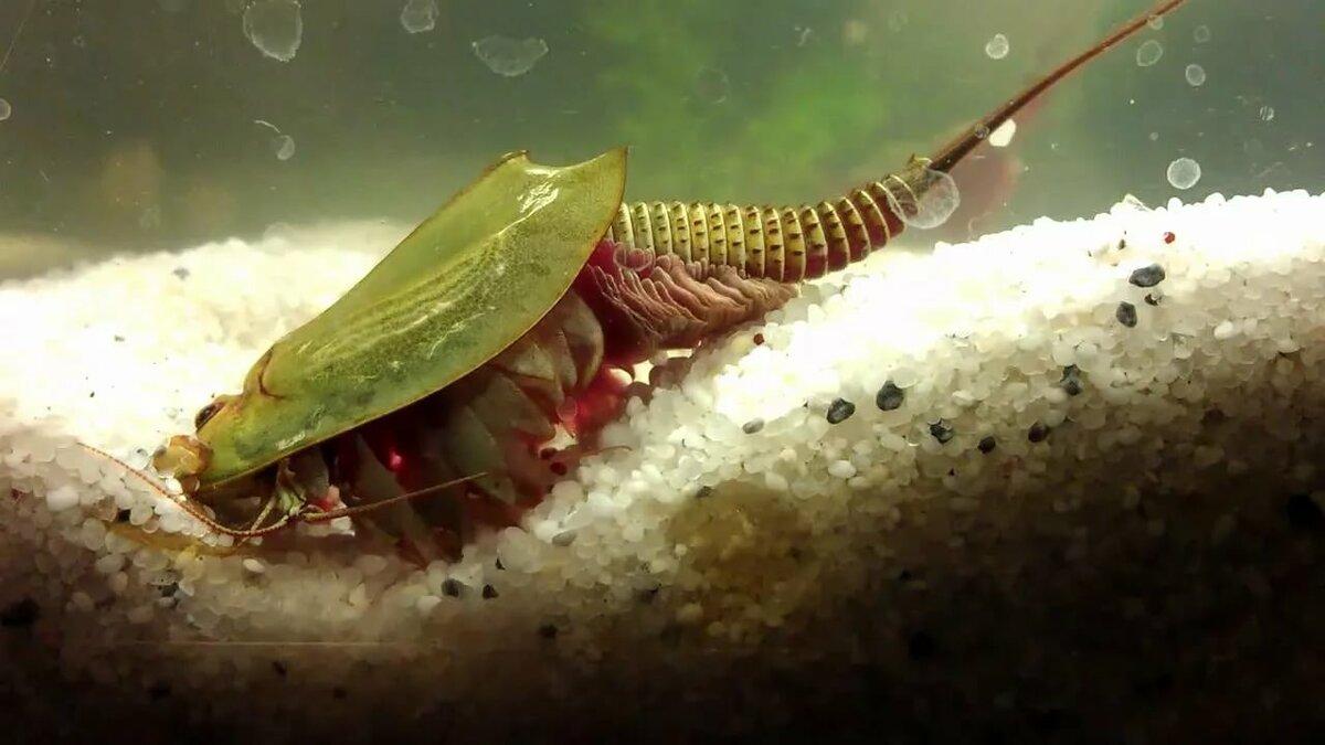 Гидрокотила или щитолистник: содержание в аквариуме, виды, фото