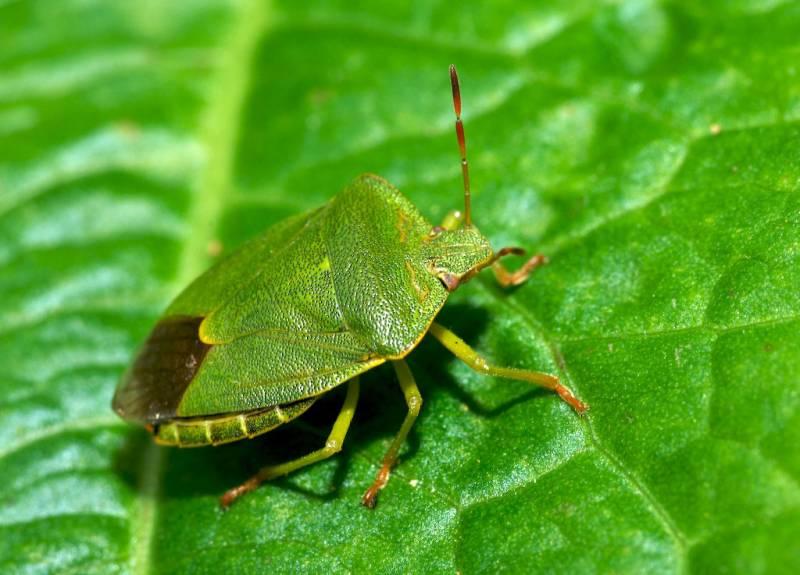 Зеленый древесный клоп щитник - фото, описание, чем питаются, как избавиться
