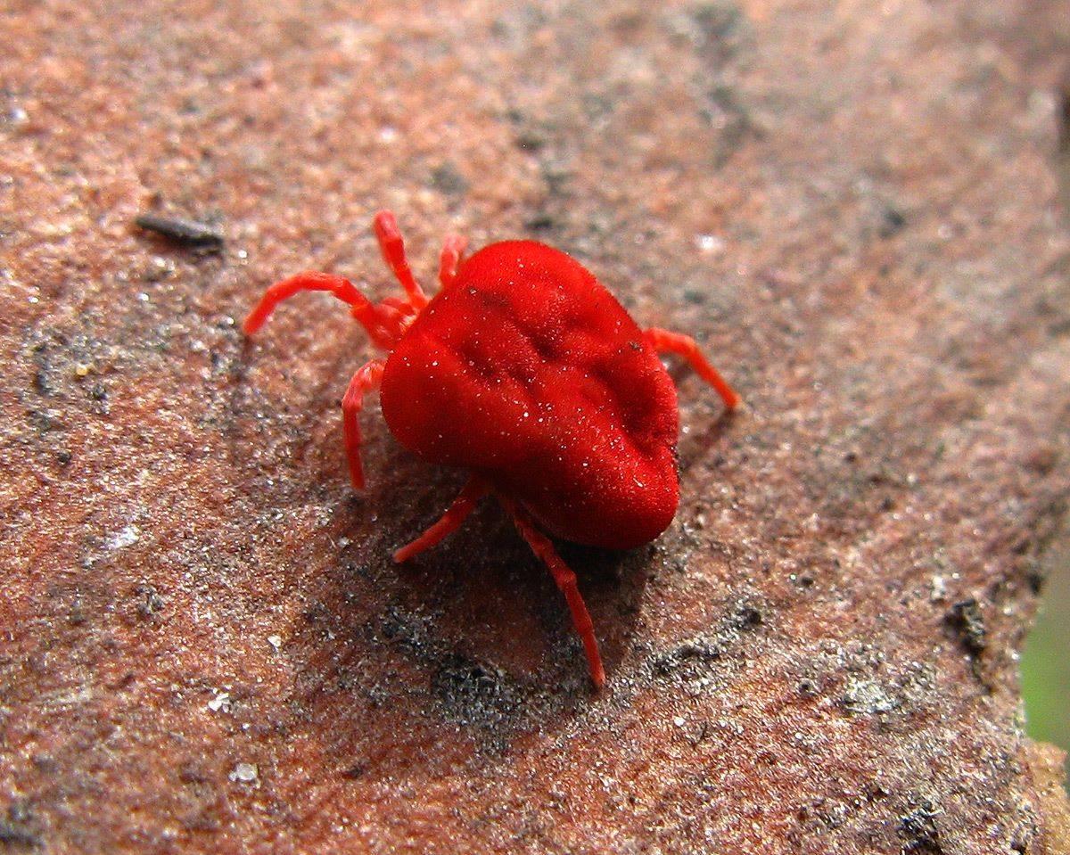 Красный клещ: описание внешнего вида и опасность для человека