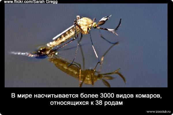 Сколько живет комар пискун, какие есть ещё виды комаров и другие интересные факты