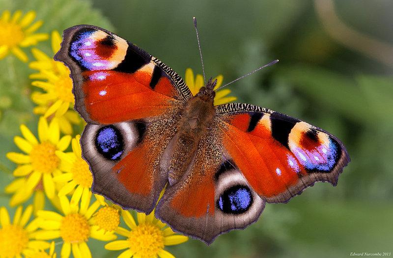 Фото бабочки павлиний глаз