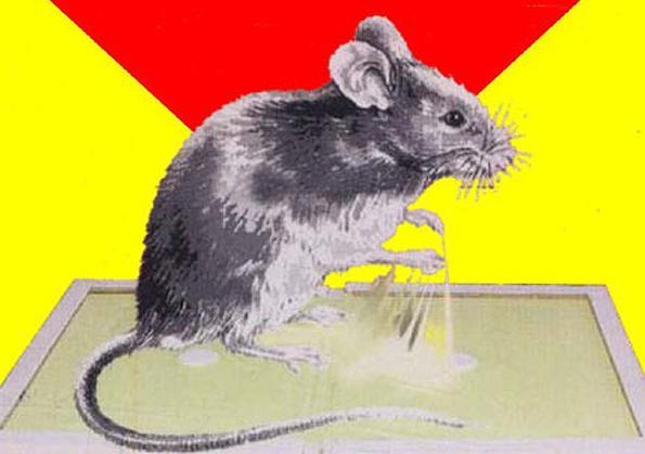 Клей от мышей и других грызунов: особенности использования и обзор популярных средств, отзывы