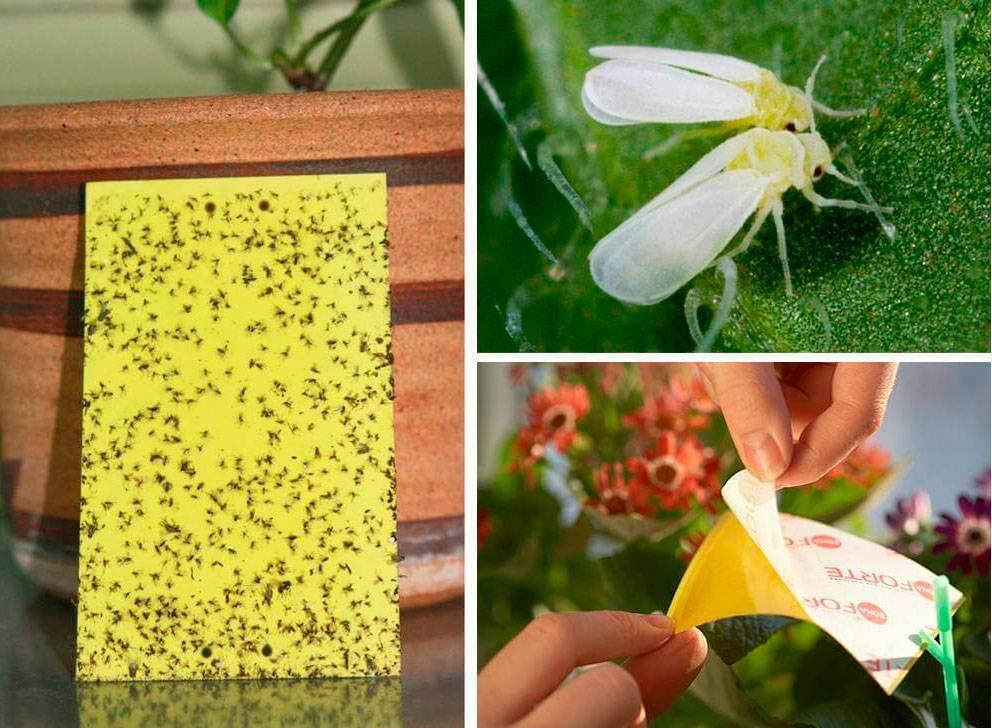 Народные средства от белокрылки: в теплице и на комнатных растениях
