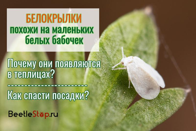 Белокрылка: фото и описание опасного тепличного вредителя