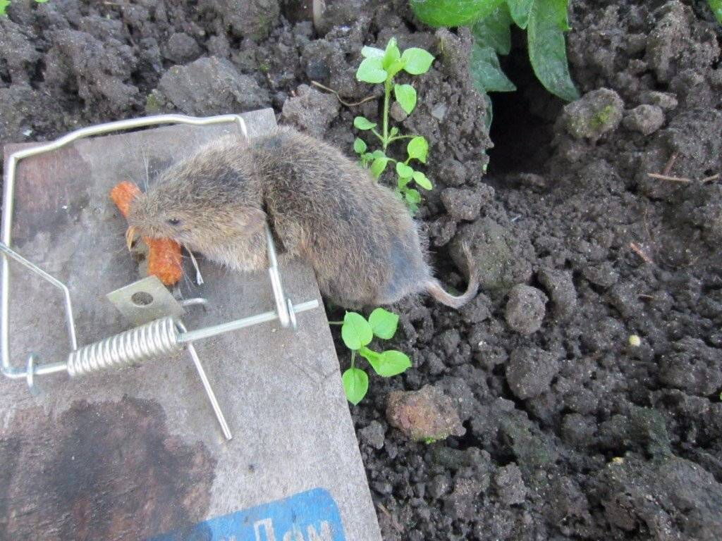 Как избавиться от земляных крыс на огороде, дачном участке, в сарае