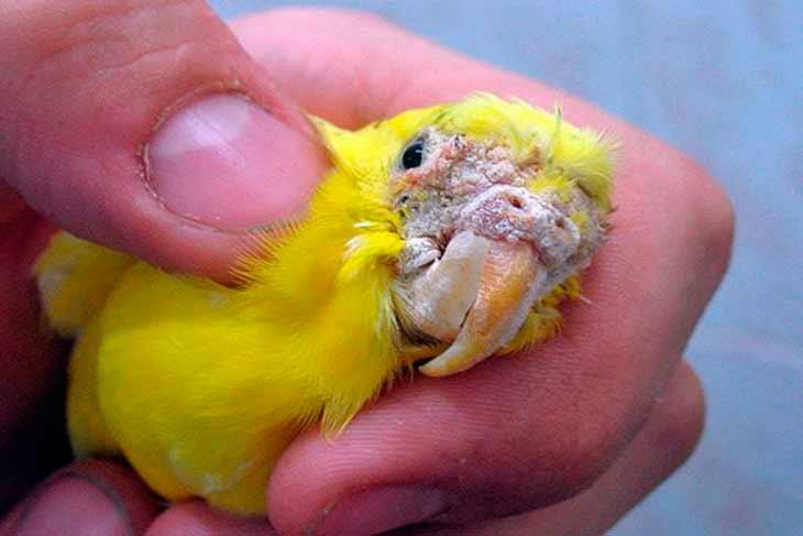 Клещ у попугая лечение в домашних условиях | портал о народной медицине