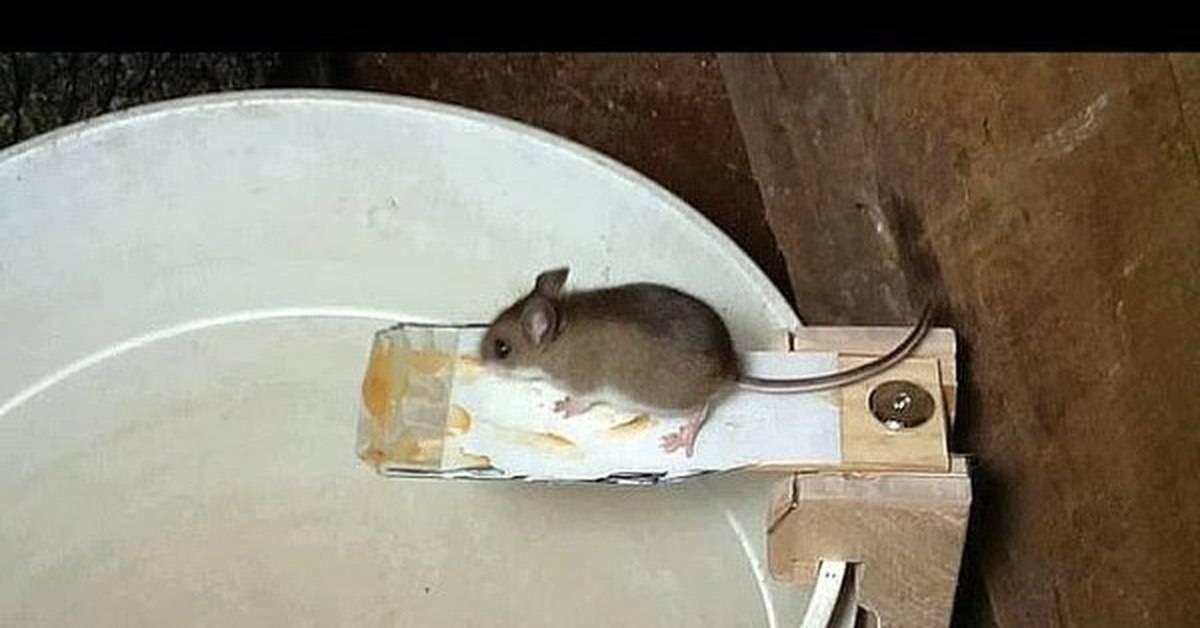 Как поймать мышь в доме без мышеловки лучший способ с бутылкой