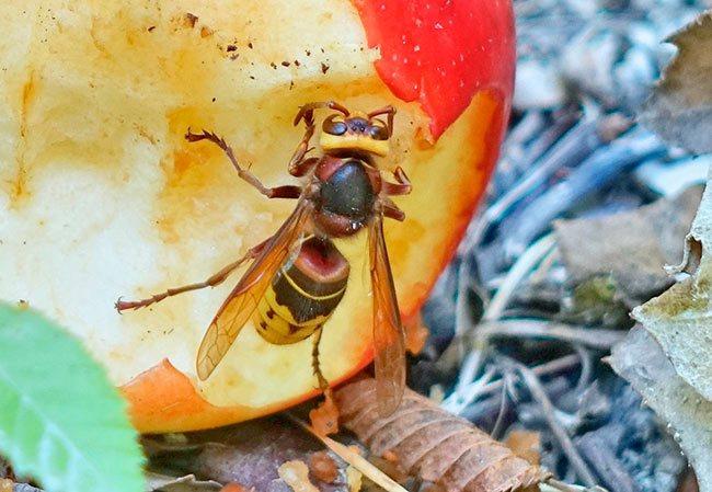 Чем отличается шершень от осы — 5 отличий и другие нюансы