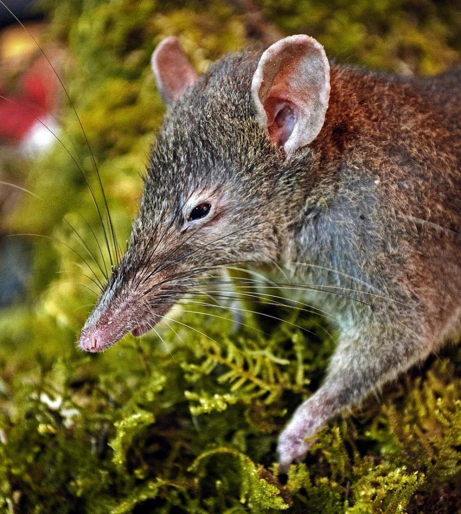 Самое маленькое млекопитающее на земле – землеройка: описание, сколько живет и фото как выглядит