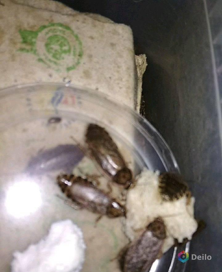 Мраморные тараканы: описание, как разводить дома, как размножаются, содержание, фото, видео