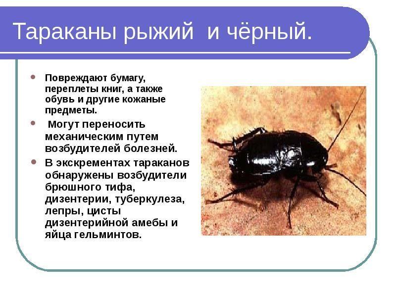 Тараканы – виды, образ жизни, среда обитания и поведение
