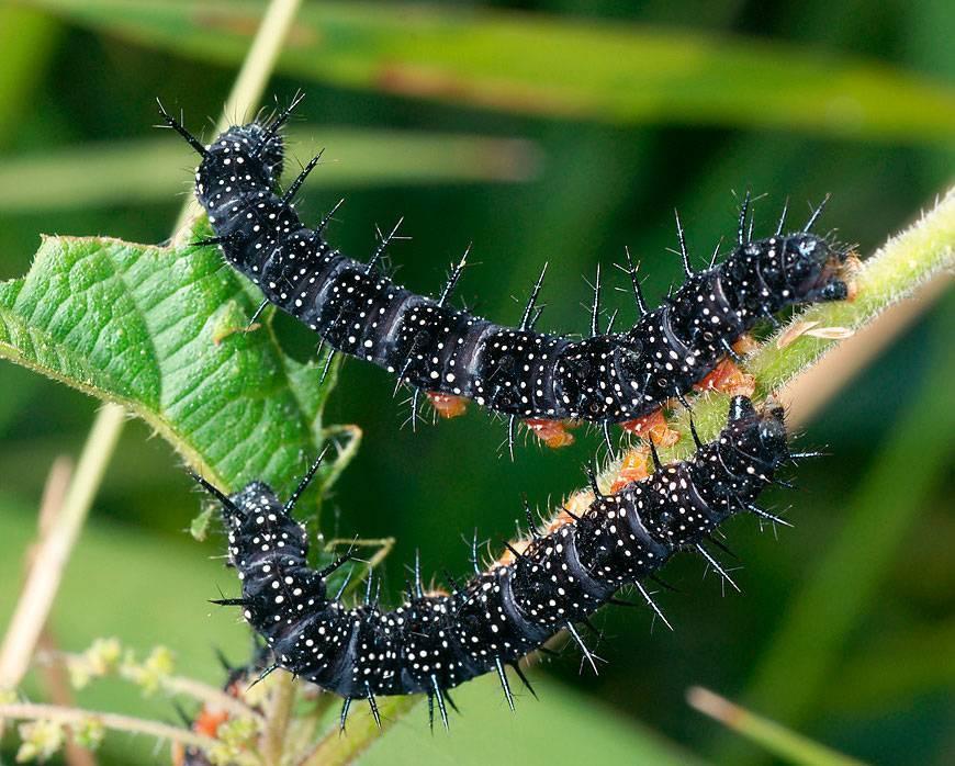 Гусеница - неядовитые насекомые   описание, фото и видео