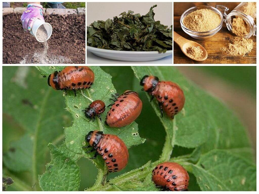 Рецепт горчица и уксус от колорадского жука