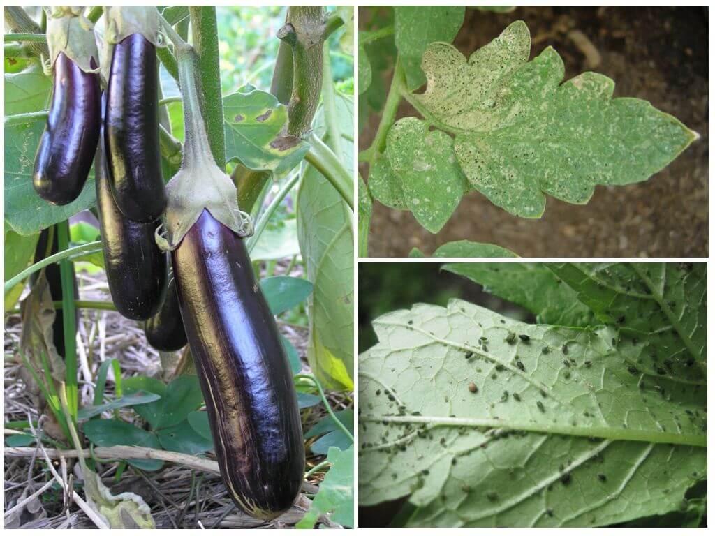 Тля на баклажанах: как бороться в домашних условиях, чем обработать рассаду в квартире, что делать, если насекомое появилось на огороде, как избавиться в теплице?