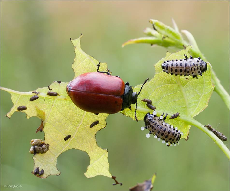 Чем обработать щавель от зеленых жучков
