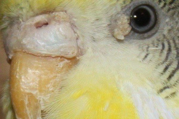 Клещи у попугая: виды, симптомы и лечение