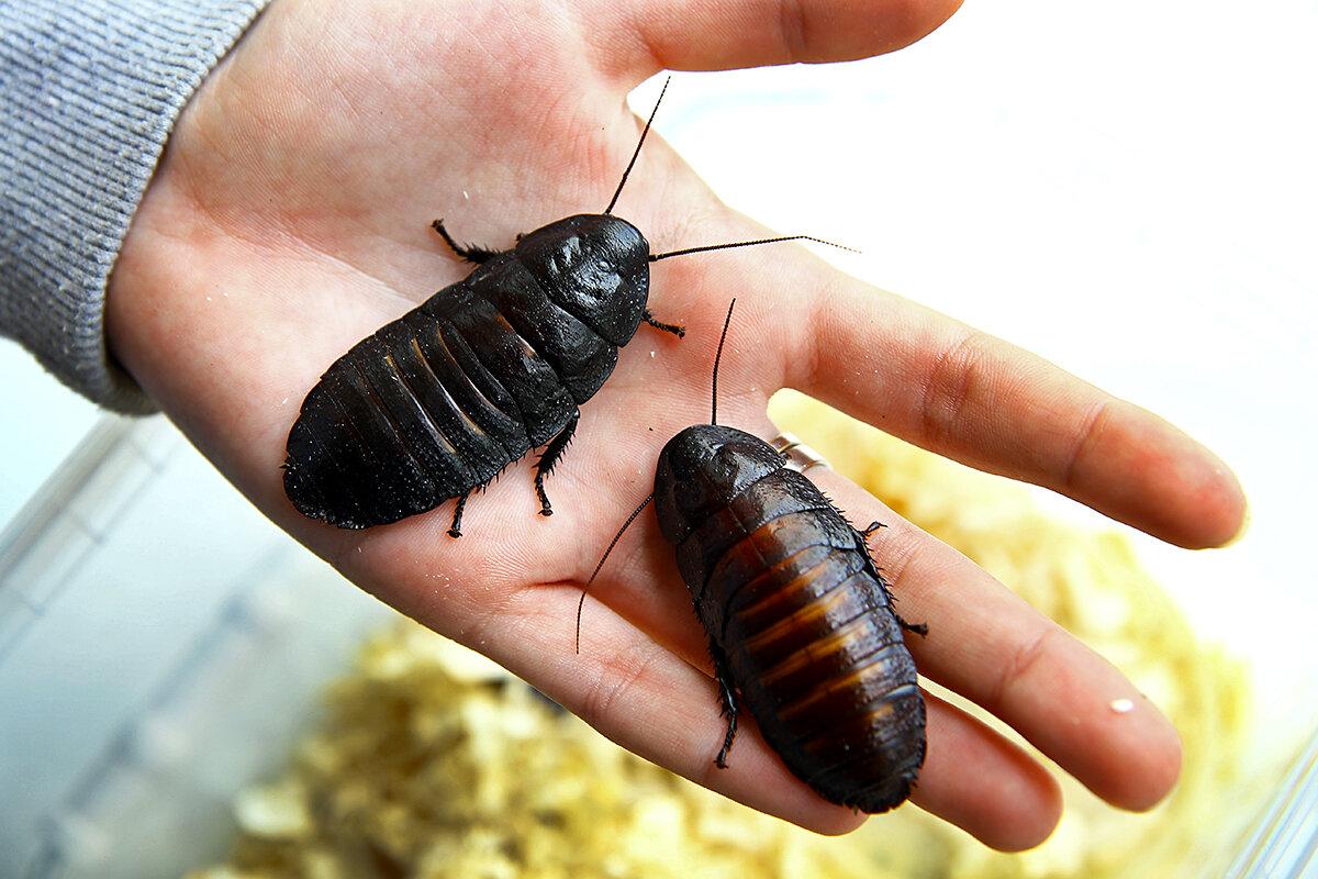 Американский таракан: фото и особенности вида