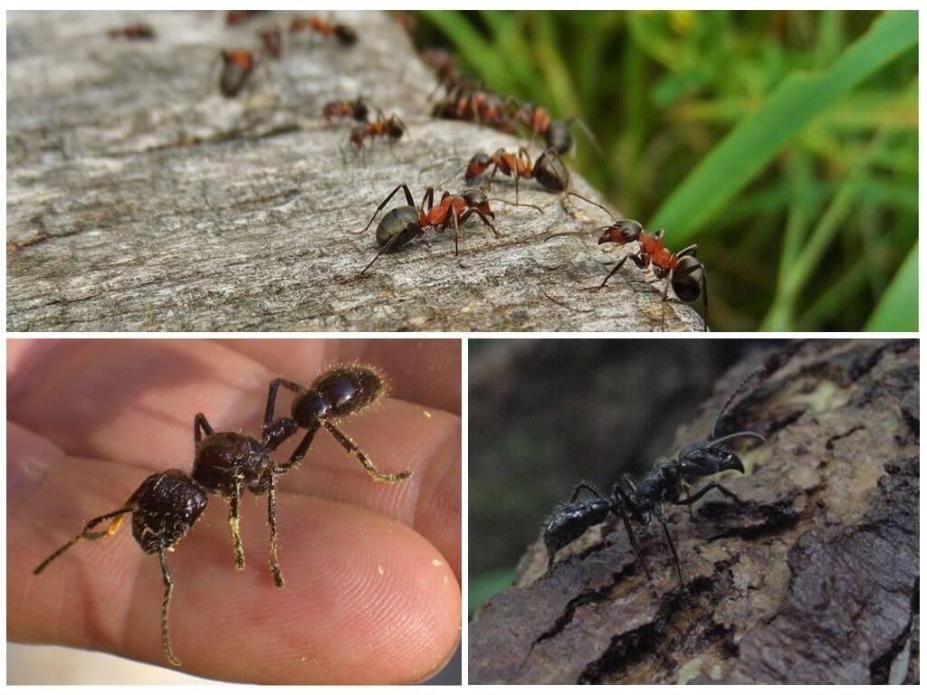 Кто же он на самом деле— этот муравей-панда?