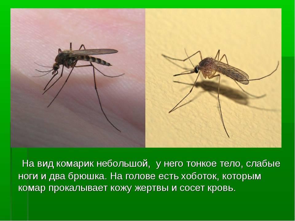 Комар типичный представитель кровососущих, ареал обитания, характеристики, жизненный цикл и интересные факты из мира насекомых