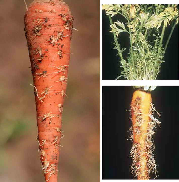 Болезни и вредители моркови: описание и система защиты