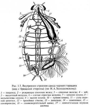 Сколько ног у таракана