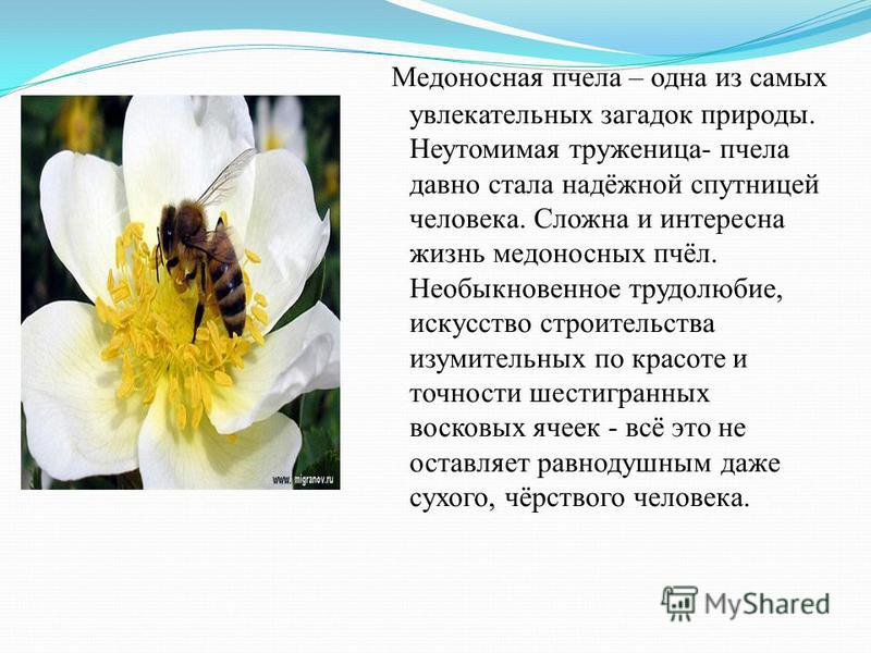 Пчела медоносная - как источник здоровья
