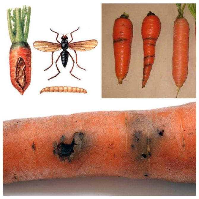 Морковная муха: как с ней бороться, описание и признаки появления