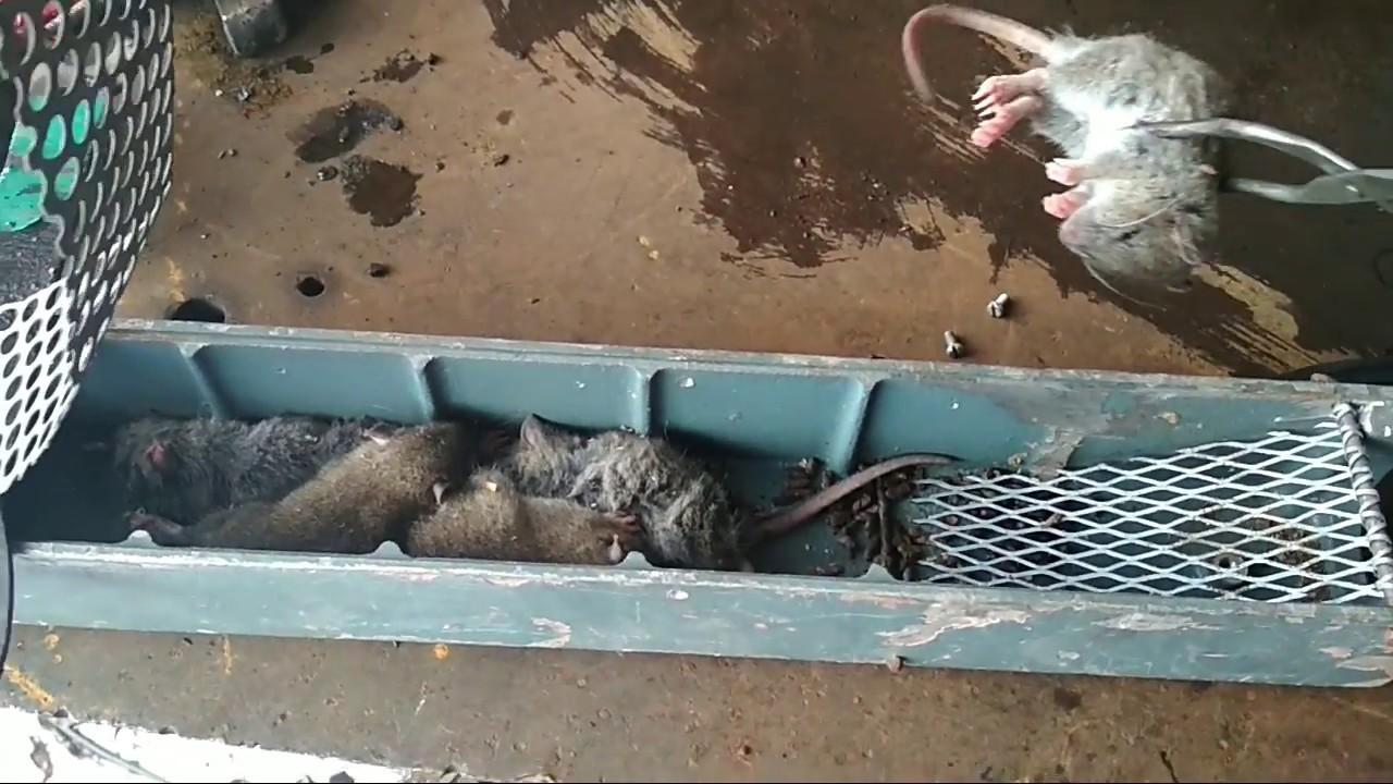 Как поймать крысу, сделать крысоловку своими руками (из бутылки), как установить, зарядить и какую приманку положить в ловушку + фото, видео