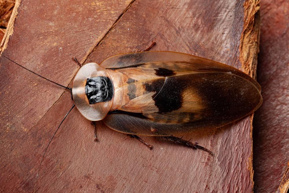 Бывают ли летающие тараканы? есть ли у них крылья вообще? какие виды умеют летать