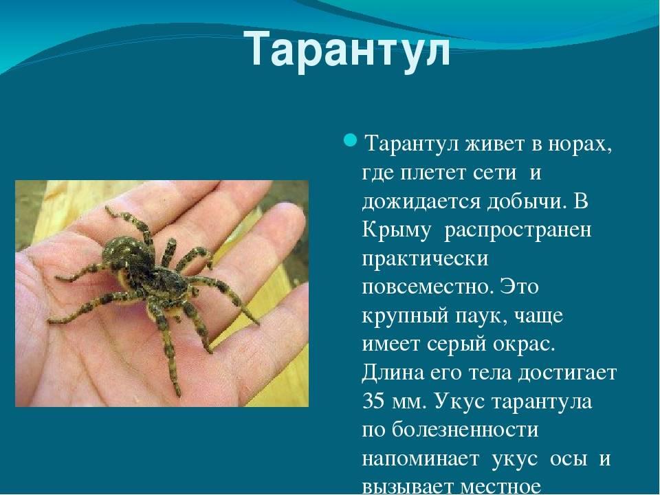 Укус тарантула: чем опасен для человека его яд, первая помощь