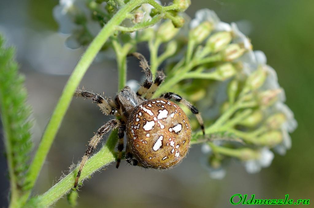 Опасное соседство — паук с крестом на спине