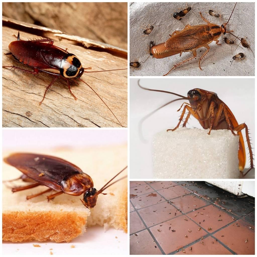 Чего больше боятся тараканы: топ фобий прусаков
