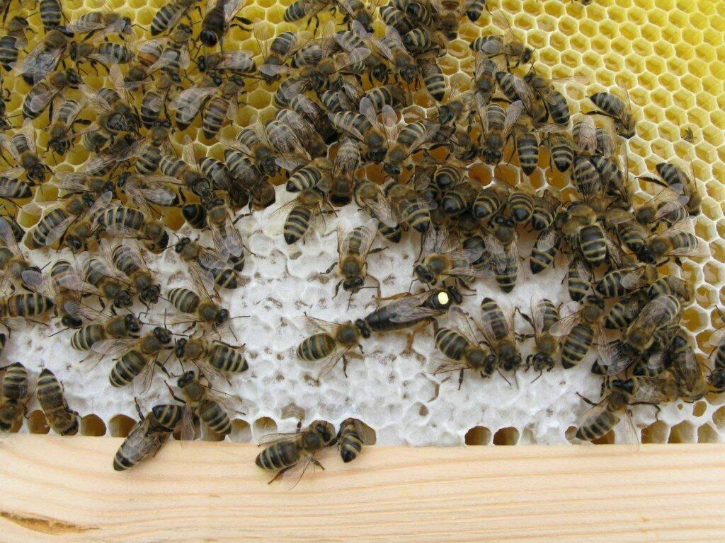 Какая порода пчел лучше: карника или карпатка какая порода пчел лучше: карника или карпатка