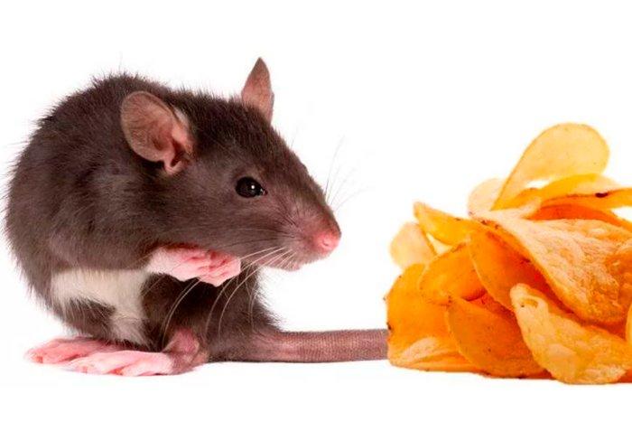 Едят мыши сыр или нет: любят ли в реальности, откуда появилось это мнение и почему, правда ли это на самом деле